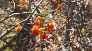 ツルウメモドキの黄色い果実と橙色の種子