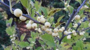 キミノウメモドキの黄色い果実