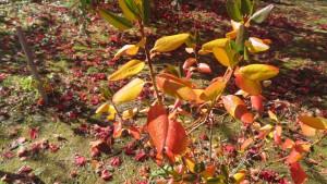アズマシャクナゲの紅葉