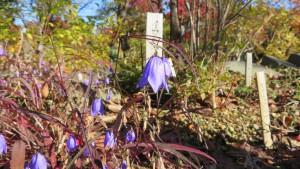 イワシャジンの花