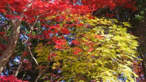 ノムラモミジの紅葉とアオシダレの黄葉
