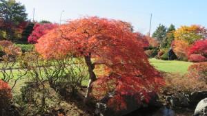 日本庭園のベニシダレの紅葉