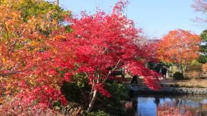 日本庭園の池とノムラモミジの紅葉