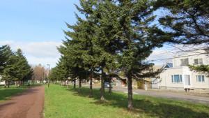 あいの里公園前緑道とアカエゾマツ並木
