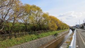 福移堤内川とヤナギの黄葉