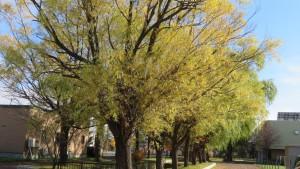 シダレヤナギ並木の黄葉