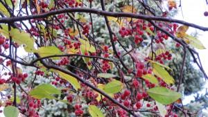 エゾノコリンゴの赤い果実