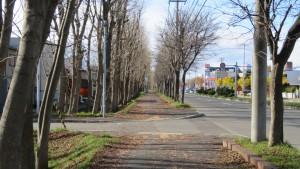 茨戸福移通とヤチダモの並木