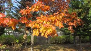 アカナラの紅葉