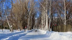 キャンパス道路とシラカバ並木