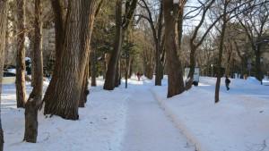 キャンパス道路とハルニレ並木