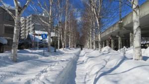 雪のシラカバ並木