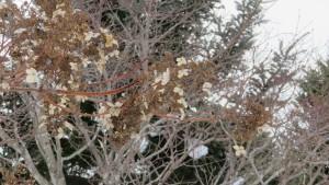 ノリウツギの枯れ花