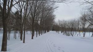 スキーコース、散策路とハルニレの並木