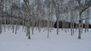 雪の中のシラカバ林