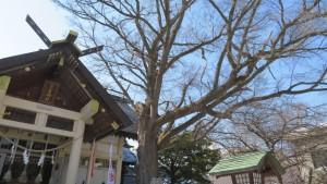 豊平神社 御神木のハルニレ