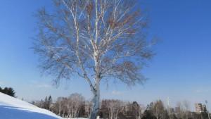 月寒公園 シラカバの巨木