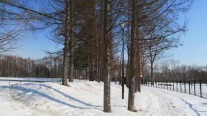 月寒公園 高台野球場とカラマツ並木
