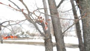 シナノキの冬芽