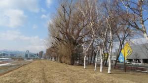 シラカバとポプラの木立(東橋公園)