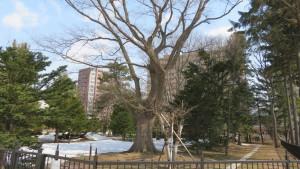 ハルニレの巨木(永山記念公園)