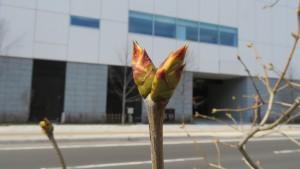 フレンチライラック の冬芽(創成川公園)