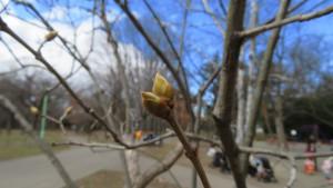 ライラックの冬芽
