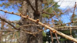 カラマツの冬芽