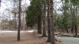 ドイツトウヒの木立