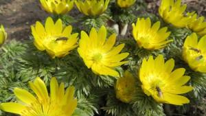 フクジュソウの花