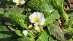 サクラソウの花