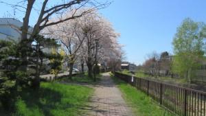 精進川と精進川緑地とサクラ並木