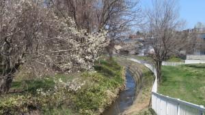 精進川とキタコブシ