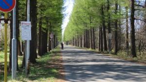 北海道農業研究センターのカラマツ並木