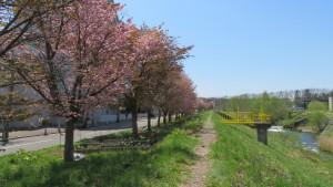 厚別川とサクラ並木