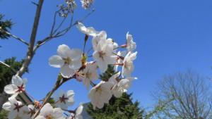 エゾヤマザクラの花