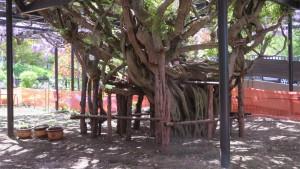 樹齢約200年の天神藤