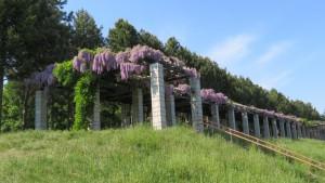 大パーゴラとフジの花