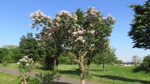 ライラックの木と花
