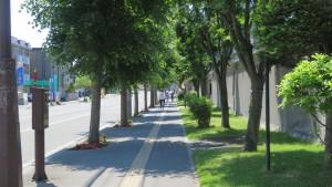 大谷地駅前通のオオバボダイジュ並木
