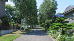 市道平岡歩道4号線とシラカバ並木