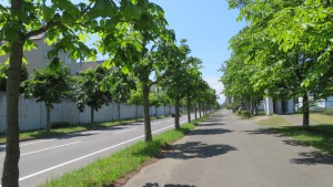 上野幌平岡通とトチノキ並木