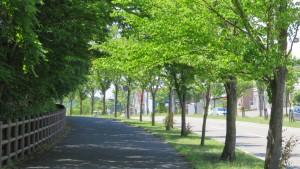 厚別中央通とカツラ並木