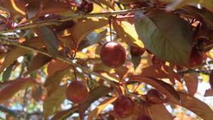 ベニスモモの果実