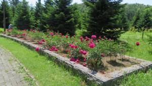 シャクヤクの花壇