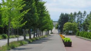 上野幌平岡通のイチョウ並木
