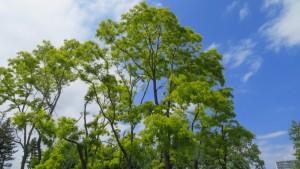 オウゴンニセアカシアの巨木
