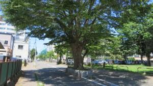 ケヤキの巨木