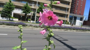 タチアオイの花