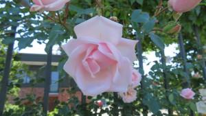 薄いピンクのバラ
